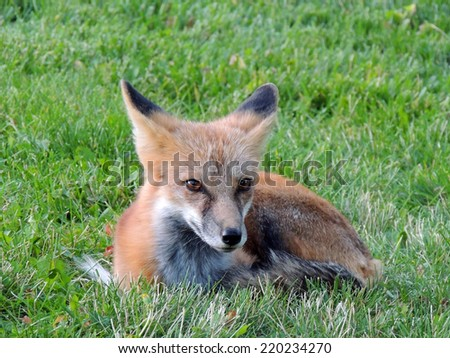 Resting red fox at Chautauqua cottages in boulder, colorado - stock photo