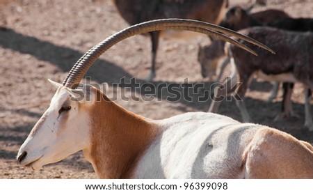 resting Scimitar Oryx - stock photo