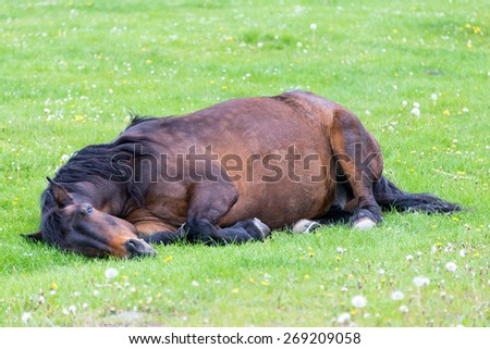 Resting, sleeping or dead horse lying on the meadow - stock photo