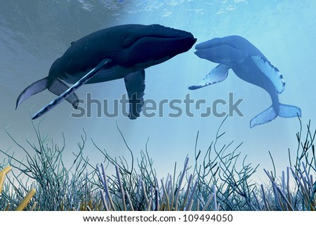 Resting Whales - Two Humpback whales rest and sleep over a reef in shallow ocean waters. - stock photo