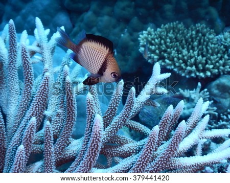 Reticulated damsel (Dascyllus reticulatus) looking for food on a coral - stock photo