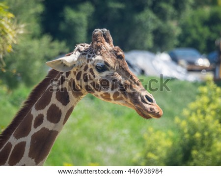 Reticulated giraffe (Giraffa camelopardalis reticulata), also known as the Somali giraffe, is a subspecies of giraffe native to Somalia, southern Ethiopia, and northern Kenya.