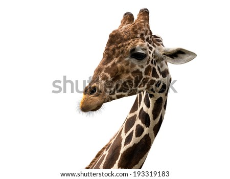 Reticulated giraffe portrait (Giraffa camelopardalis reticulata) isolated on white background