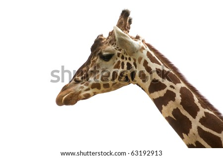 Reticulated giraffe portrait on sky backgrouns