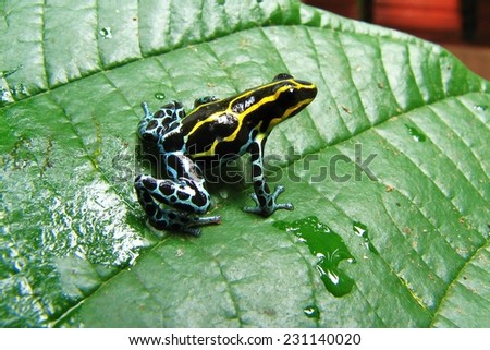 Reticulated poison frog (Ranitomeya ventrimaculata) - stock photo