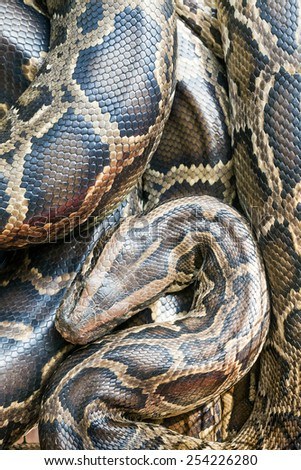Reticulated python - stock photo