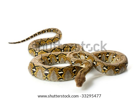 Reticulated Python (Python reticulatus) isolated on white background. - stock photo