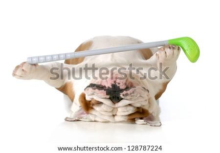 retired dog - english bulldog laying down holding golf club - stock photo