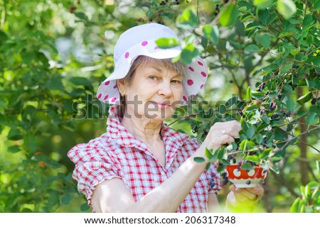 Retired older woman picking mespilus in garden.