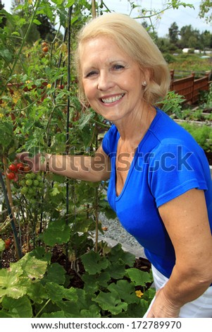Retired woman in the vegetable garden holding tomatoes on the vine.  - stock photo