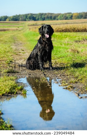 Retriever dog is reflected in the coatings