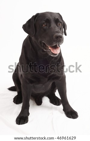 Retriever Labrador dog of a black shade in studio