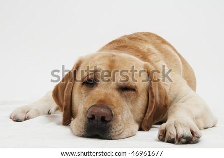 Retriever Labrador dog of a yellow ivory creme shade in studio - stock photo