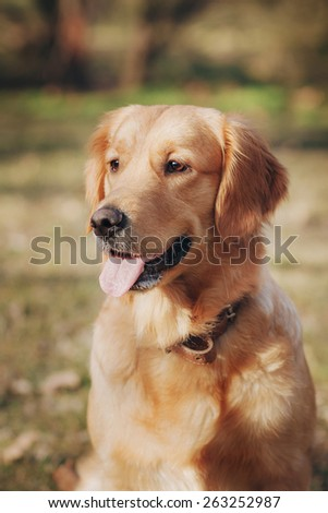 Retriever on the street