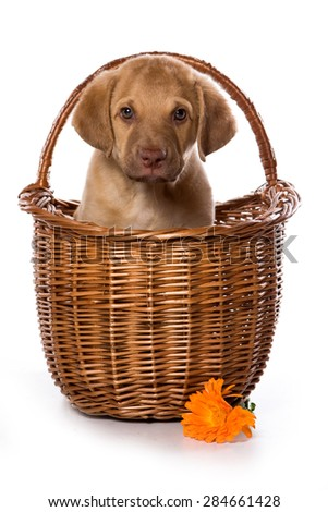 Retriever puppy in a basket looking at the camera (isolated on white) - stock photo