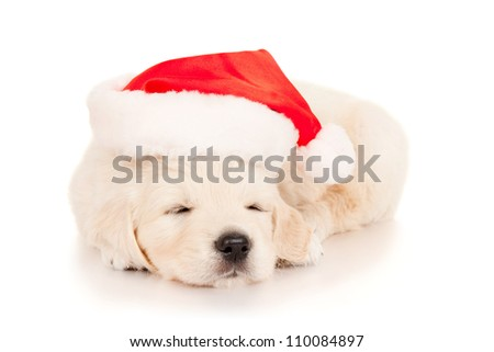 Retriever puppy in a Santa Claus hat, isolated on white