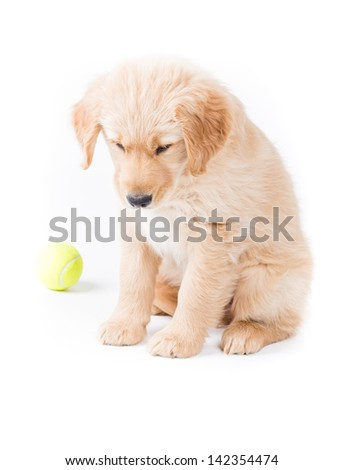 Retriever Puppy Looking Down. a cute 2 month old golden retriever puppy is sitting and looking down almost sad with a green tennis ball in the background. on white - stock photo