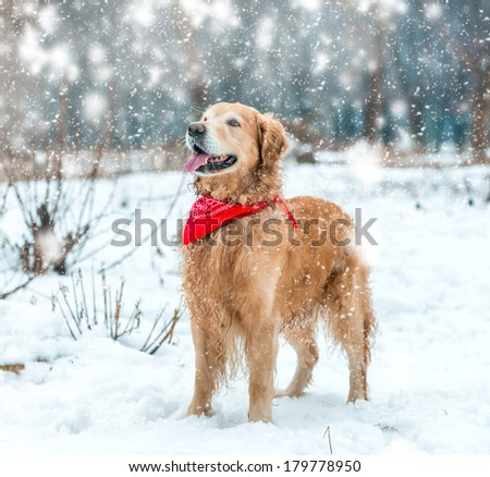 retriever walk at the snow in winter park - stock photo