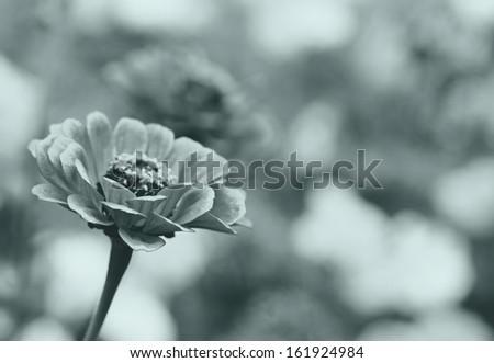 Retro background with flower zinnia. - stock photo