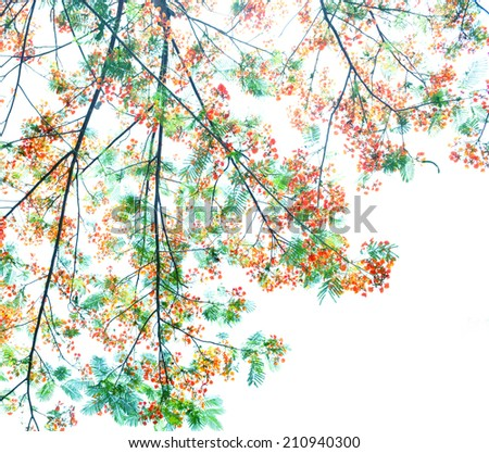 Retro  color tone of Flam-boyant flower with light  background - stock photo