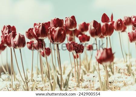 Retro Photo Of Tulip Garden In Spring - stock photo