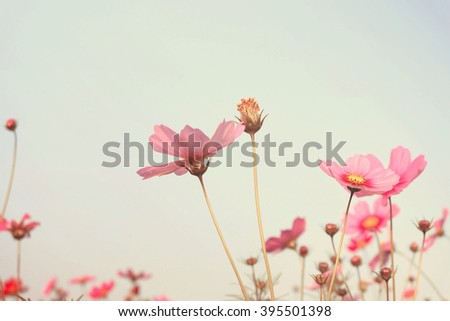 Retro Pink Cosmos flowers  - stock photo