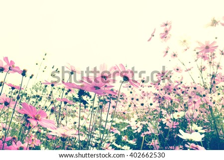 Retro Pink Cosmos flowers blooming in the garden. - stock photo