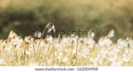 Retro styled panoramic image of blossoming snowdrops - stock photo