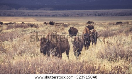 bison herd stock images royalty free images vectors. Black Bedroom Furniture Sets. Home Design Ideas