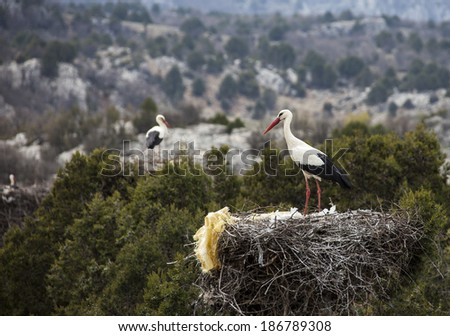 returning to nest Storks