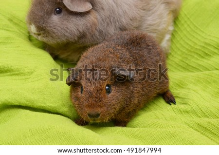 rex guinea pig baby with adult curly