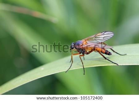 Rhagionidae sitting on a leaf - stock photo
