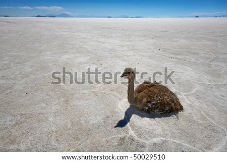 Rhea resting on the Salar de Uyuni, Bolivia