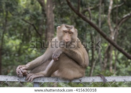 Rhesus Macaque Monkey portrait