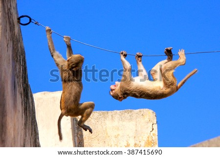 Rhesus macaques (Macaca mulatta) playing on a wire near Galta Temple in Jaipur, India. The temple is famous for large troop of monkeys who live here. - stock photo