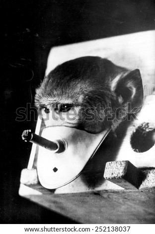 Rhesus monkey being forced to smoke: he is participating in Russian smoking and health research, 1967.