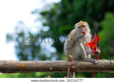 Rhesus monkey is eating flower.