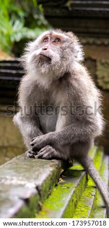 Rhesus monkey looking up in Ubud's Monkey Forest Sanctuary, Bali, Indonesia.  - stock photo