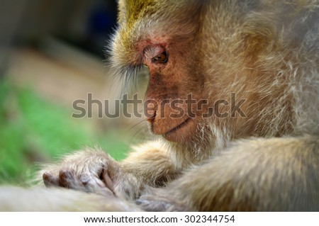 Rhesus monkeys were preen for insects to clean the body. - stock photo
