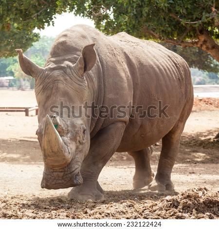 Rhino attack - stock photo