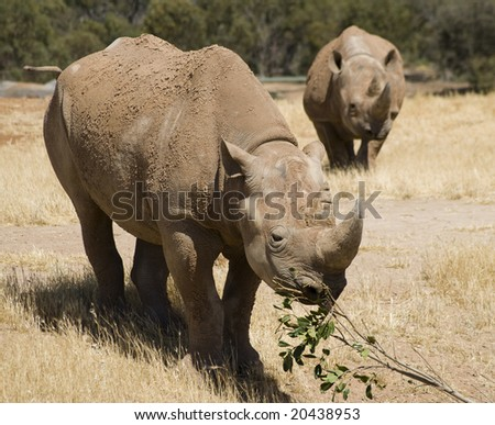 Rhino eating leaves off a tree branch - stock photo