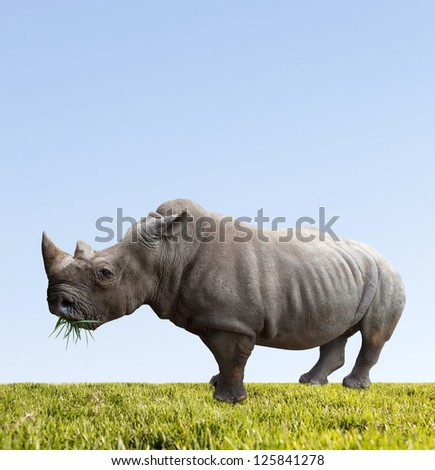 Rhino eats green grass  on blue sky background