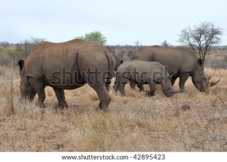 rhino family in Kruger national park - stock photo