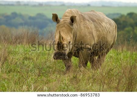 Rhino in a pasture - stock photo