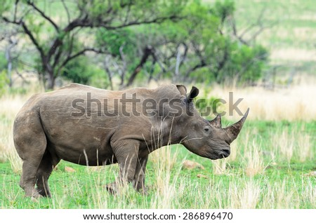 Rhino in Pilansberg South Africa
