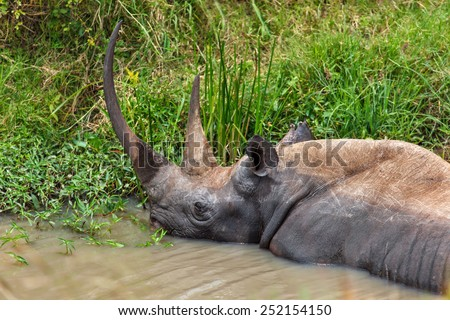 Rhino Karanja lying in the water in Masai Mara, Kenya - stock photo