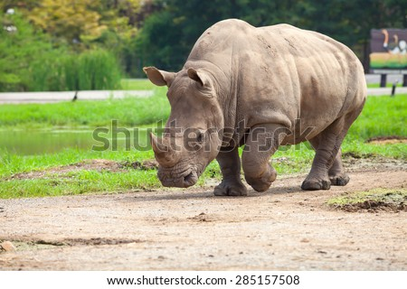 Rhino looking for food in the wild.