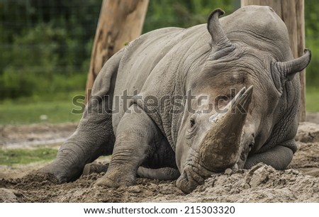 Rhino Playing In The Dirt