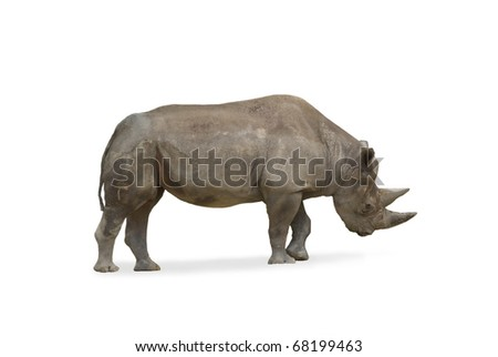 Rhino Rhinoceros standing with head down isolated on white background