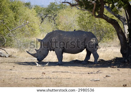 Rhino under a tree - stock photo